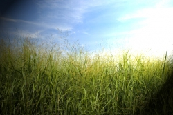 """Results: """"Central Kentucky Producers' Opinion on Switchgrass Production for Energy."""""""